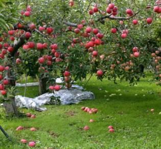 りんごの町